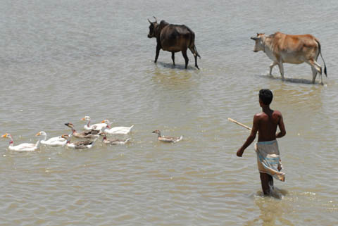 Fisherman with cattle (Bangladesh)