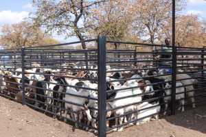 Recently built infrastructure specifically for small stock along with the monthly auctions have made goat production a viable business in Gwanda