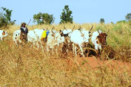 Man herding cattle in Mali
