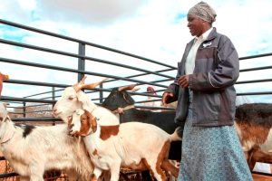 Ndidzulafi Ndou shows off her prize goats at an agricultural show in Gwanda, Zimbabwe
