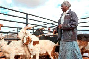 Ndidzulafi Ndou shows off her prize goats at an agricultural show in Gwanda, Zimbabwe