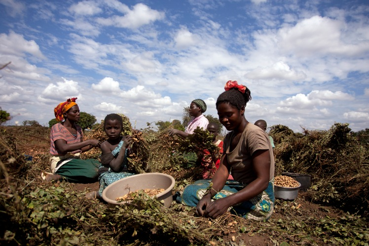 21 May 2013, Mchinji, Malawi- Flora Chimtolo, right, Agnes Chioko, left, Alinafe Mduwa, centre, and girls Brenda Kapeni, near camera, and Regina Bauti, 2nd right, are harvesting groundnuts in Mduwa's field at Mzingo Village, Traditional Authority Mavwere in Mchinji District, central Malawi, May 21, 2013. PHOTO FAO/AMOS GUMULIRA
