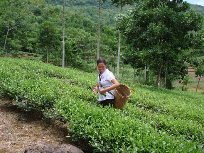 female farmer collecting tea leave in_DongCao_ThuCuc_Vietnam[1]