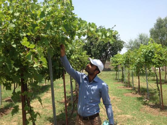 Adnan working in grapevine yard
