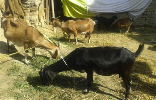 "YAP Proposal #27: ""Improved Goat Farming"" (Sunil Shrestha, Nepal"