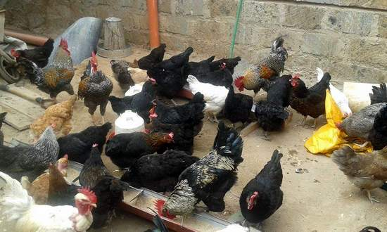 Kienyeji chickens