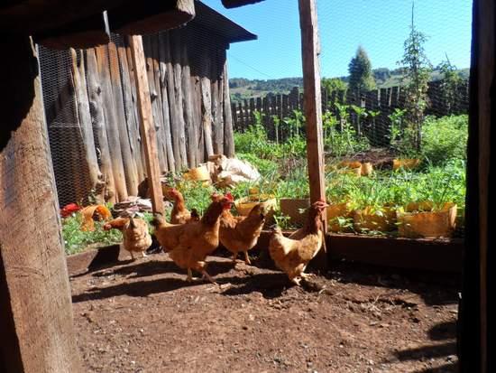 KKF_Chickens