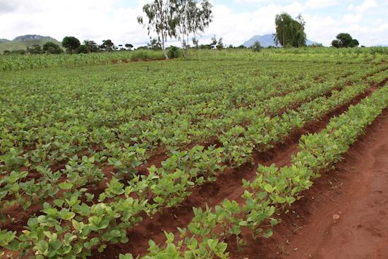 A Soya field