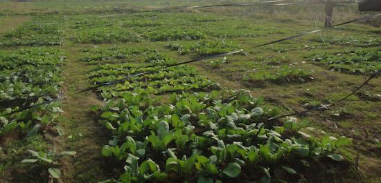 crops grown
