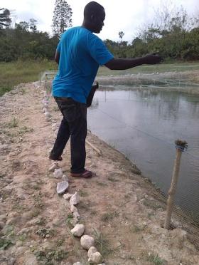 Feeding. Tilapia .Fishes