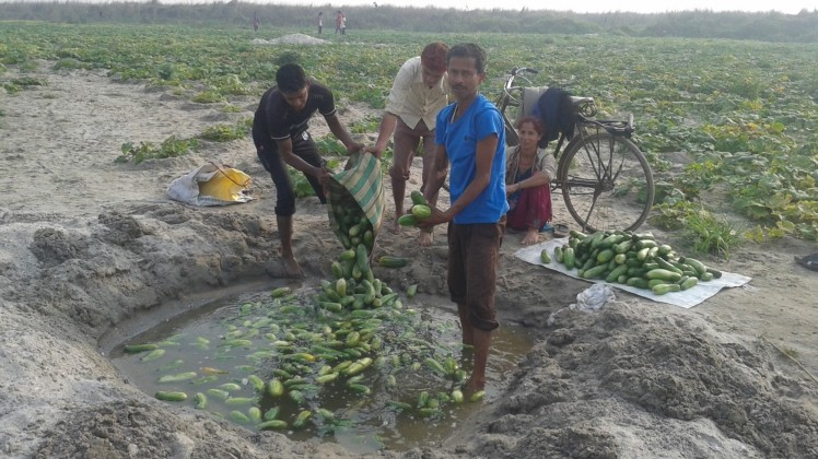 Harvesting of cucumber in riverbed