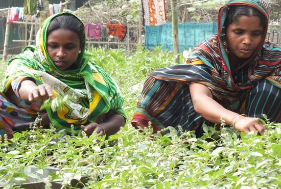 Picture of Tulsi leaves Plucking