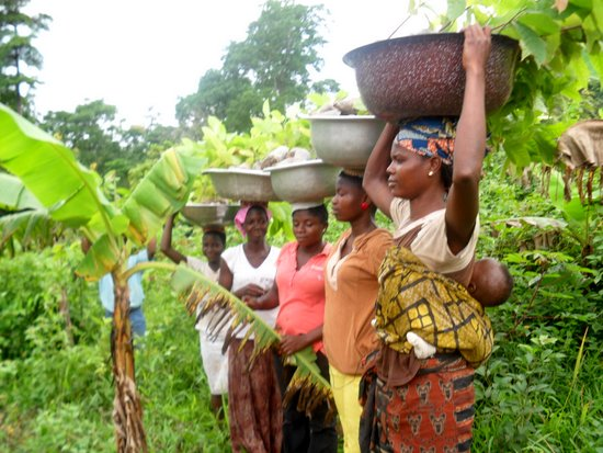 PORTIA AGBO IMPROVED VARIETY COCOA PROJECT PHOTO YAP   Ghana