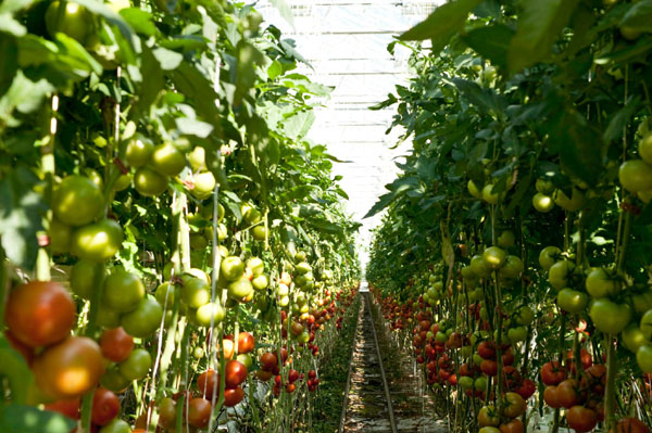 Tomatoes grown in a greenhouse - credits Step Up Social Enterprise