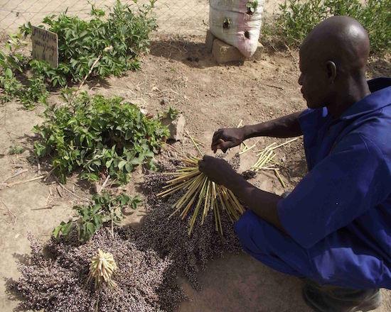 -Tri des semences par les apprenants qui pourront être échangées et distribuées à nos bénéficiaires