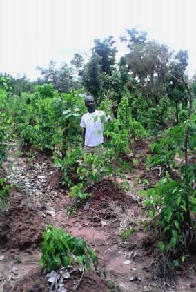 yam farm1