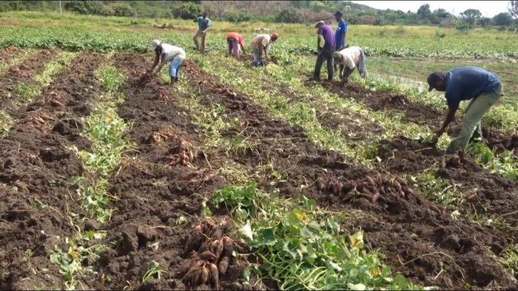 Harvesting of demo plot located in Agricultural  cluster