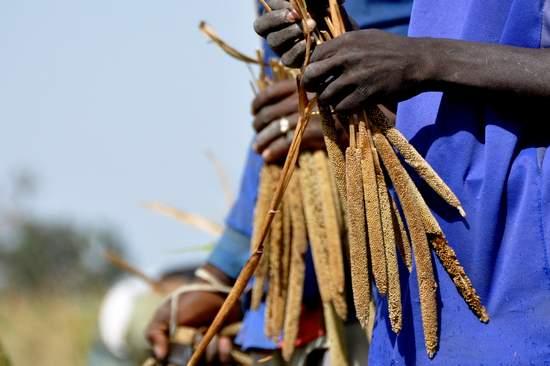 Farmer in Mali harvesting pearl millet