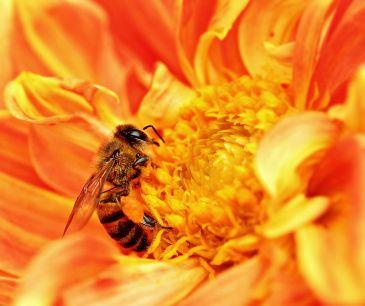 800px-honey_bee_takes_nectar-002