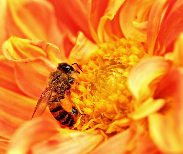 800px-honey_bee_takes_nectar-002