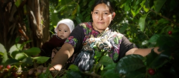 Magdalena Juan, picking coffee on her small plot of land. Magdalena is affiliated to ASOBAGRI and produces feminine coffee, which is only produced by women. ASOBAGRI is a Fairtrade-certified coffee producer based in Barillas, Huehuetenango, Guatemala.