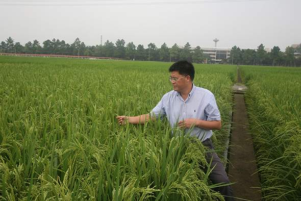 Dr. Hu Peisong, a rice breeding specialist, working in a field trial rice paddy