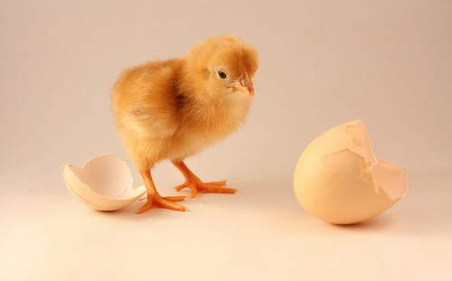 chicken-and-egg