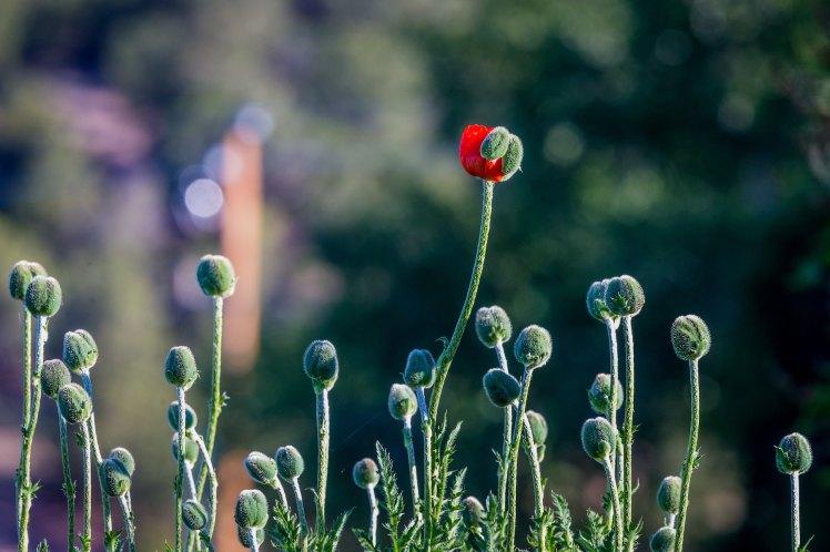 PoppyBlooming_andrea-reiman-256853